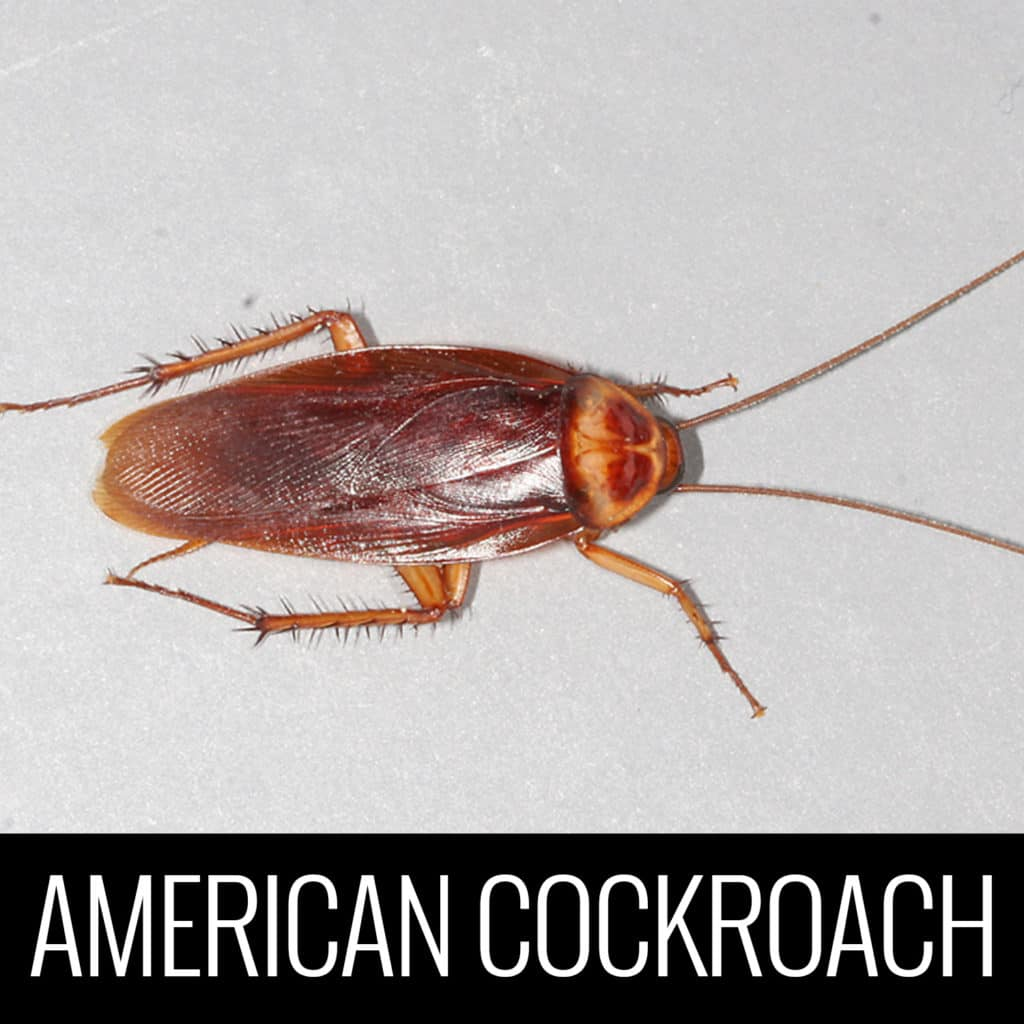 Americancockroach