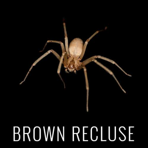 BrownRecluse
