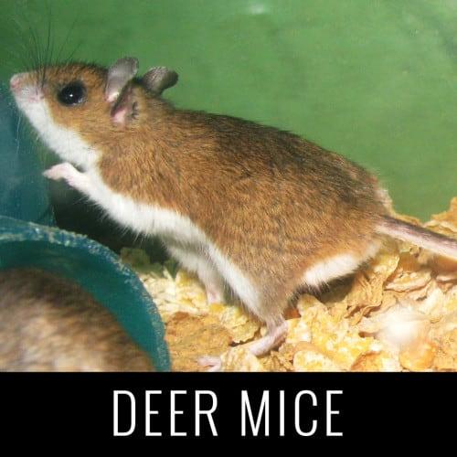 DeerMice