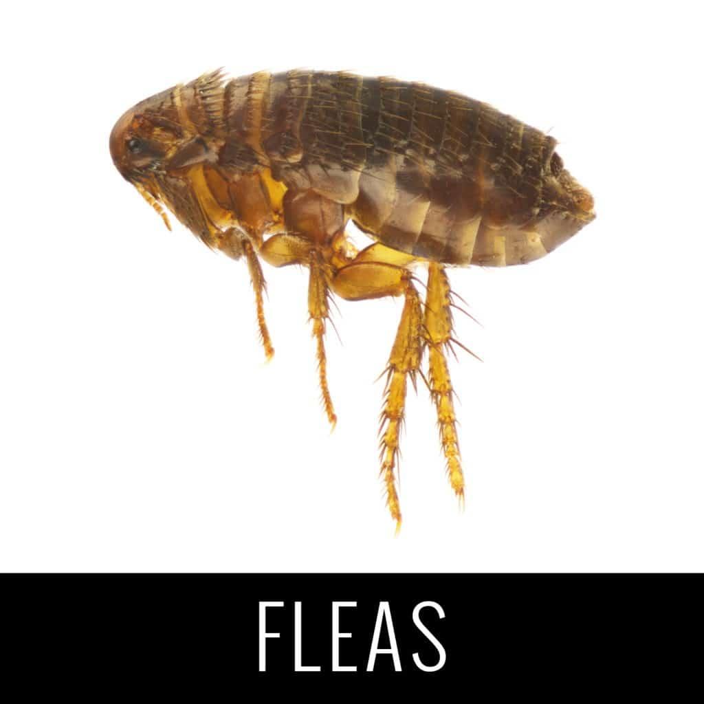 Fleas1