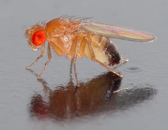 Fruit Fly 1 - Drosophila_melanogaster_-_side_(aka)