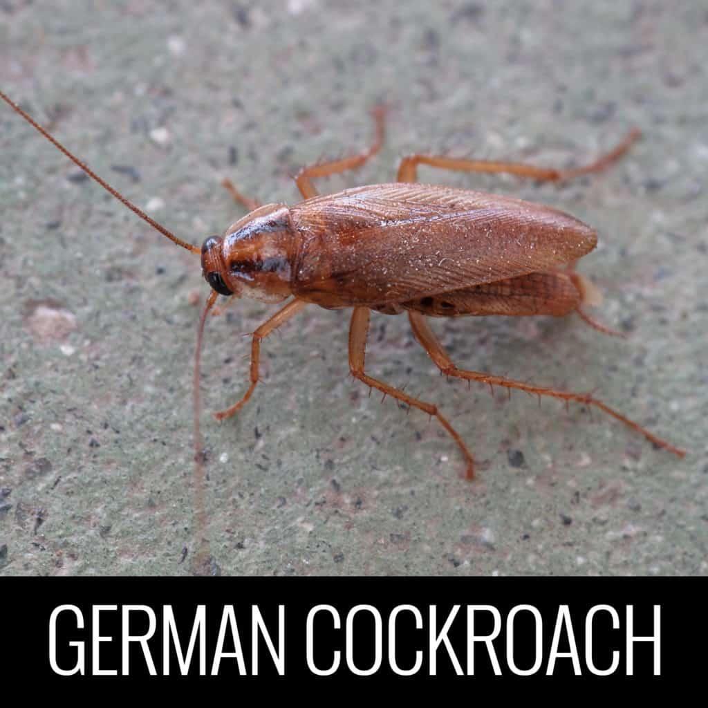 GermanCockroach