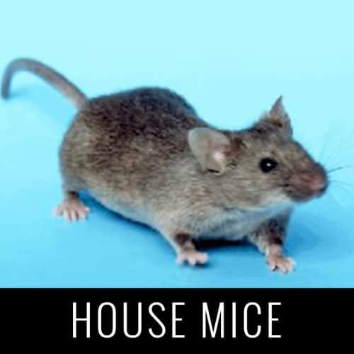 HouseMice