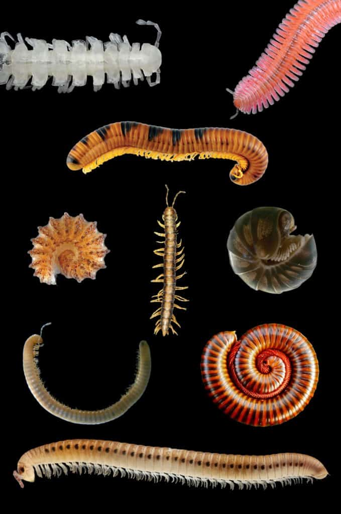 Millipede_collage