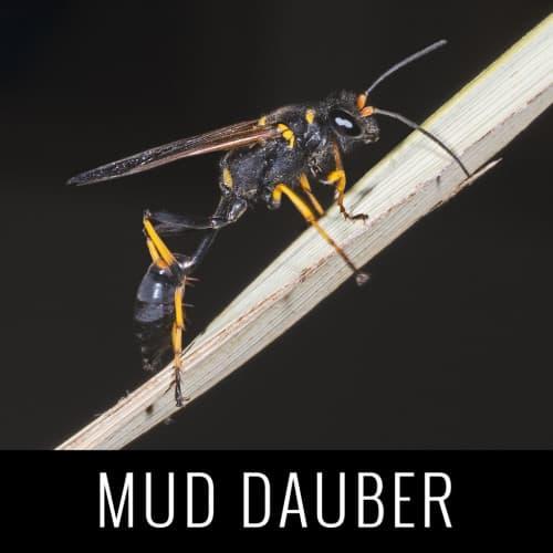 MudDauber