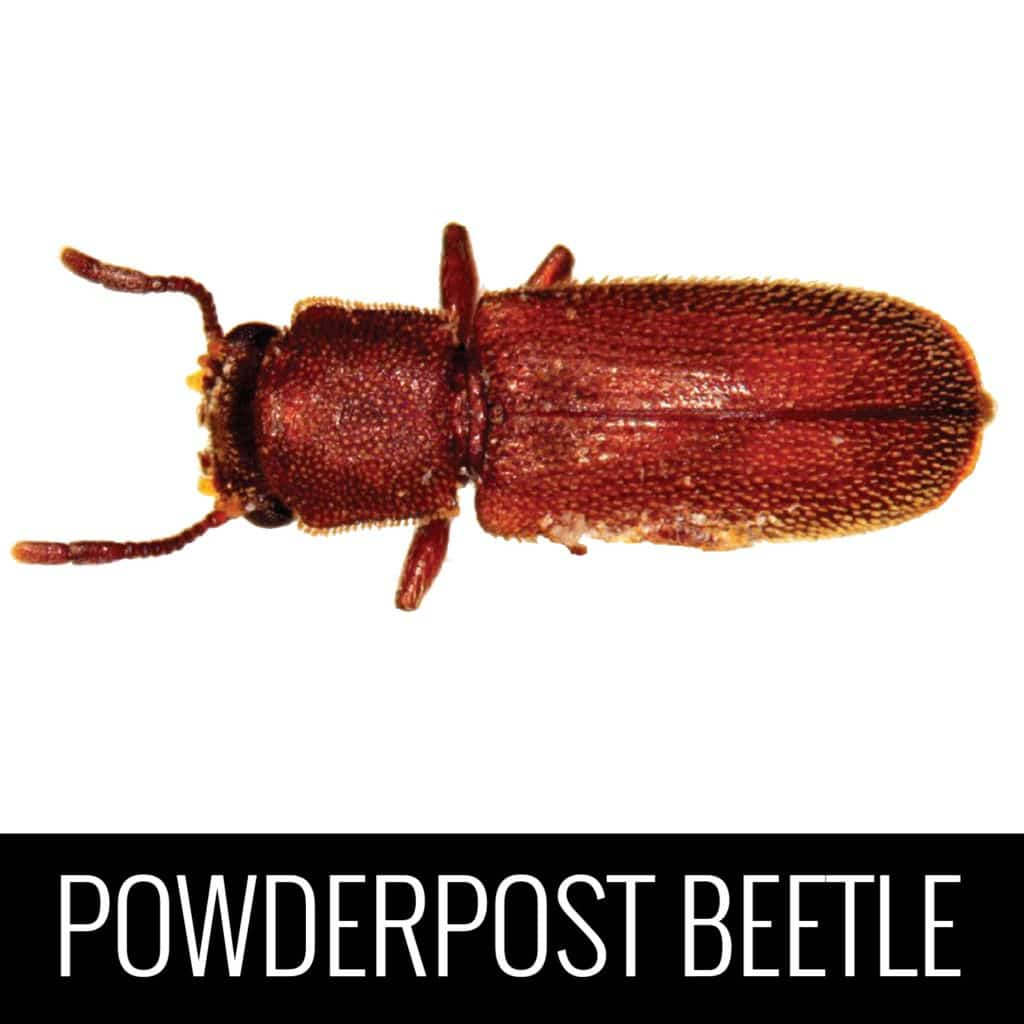 PowderPostBeetle