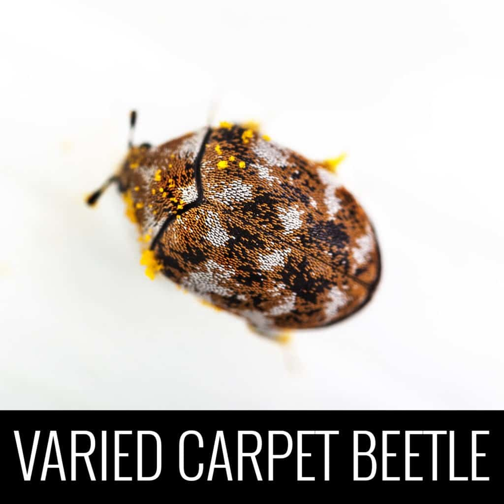 VariedCarpetBeetle