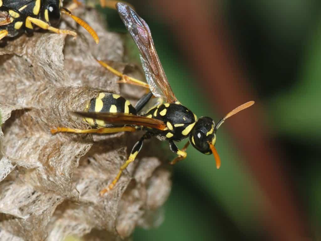 Wasp_May_2008-11