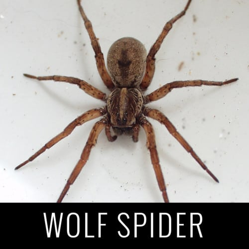 WolfSpider
