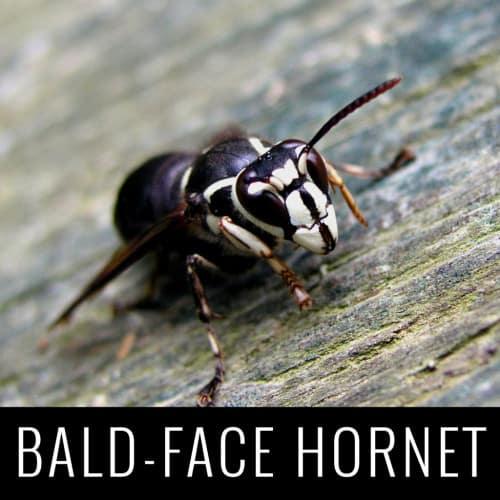 baldfacehornet