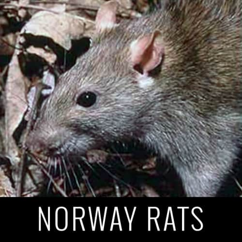 norwayrats