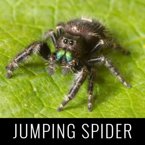 jumpingspider1