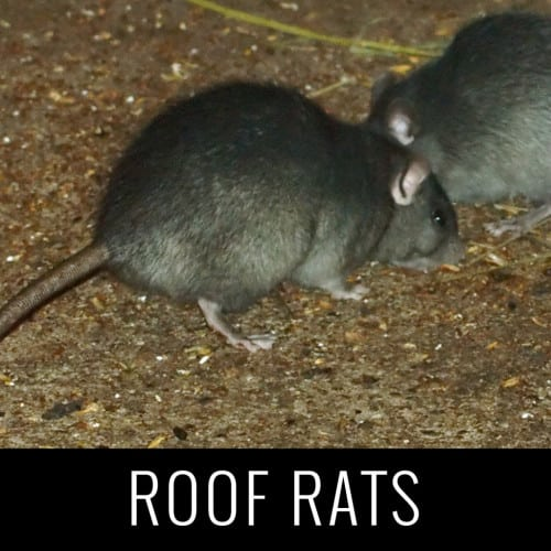roofrats1