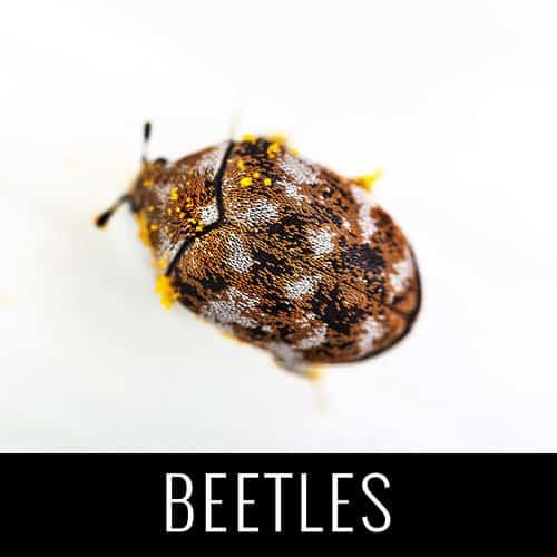 beetles pest control denver co