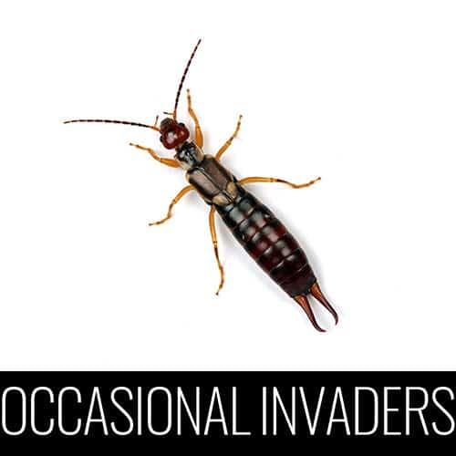 earwig occasional invaders pest control denver