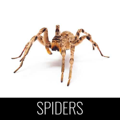 spiders pest control denver colorado