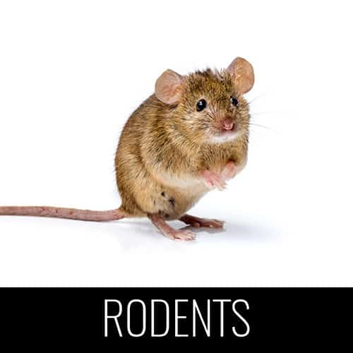 rodents mice pest control denver co